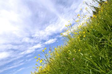 Butterblume auf Sommerwiese