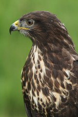 Common Buzzard - portrait