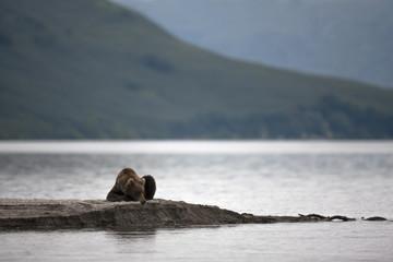 Brown bear laying on the lake