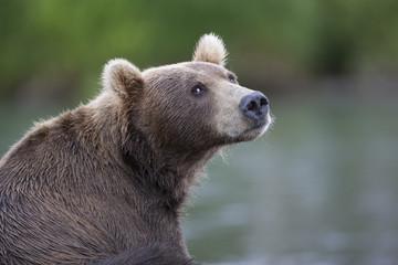 Portrait of a brown bear closeup