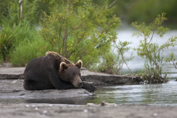 Brown bear is lies on the river Bank
