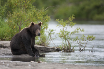 Brown bear is sitting on the river Bank