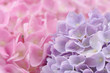 Beautiful Pink and Purple Hydrangea Flowers with Water Drops