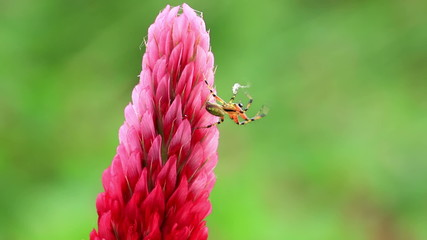Small spider on a Crimson clover flower