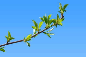 First green leaves of cherry tree branch