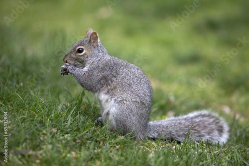 Plexiglas Eekhoorn Grey tree squirrel feeding on the ground