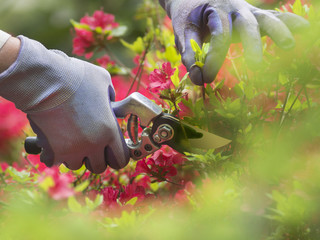 Hand with pruning shears on an azalia background