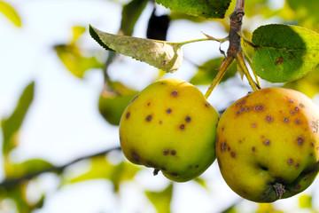 Apfelschorf, Krankheit