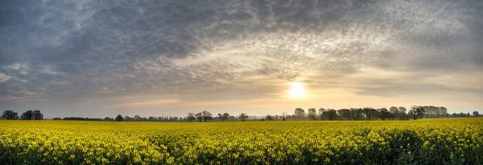 Panorama landscape rapeseed canola field in diffuse hazy morning