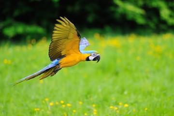 Flying blue-and-yellow Macaw - Ara ararauna