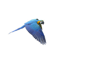 Isolated flying blue-and-yellow Macaw - Ara ararauna