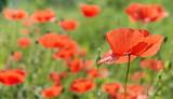 Poppy flower.