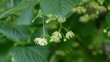 Linden tree flower at branch, plant in spring