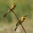 2 Little-Bee Eaters (Merops pusillus) both holding insects