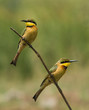 2 Little-Bee Eaters (Merops pusillus) perching together