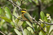A Little-Bee Eater (Merops pusillus) perched in the mangroves