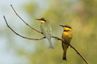 2 Little-Bee Eaters (Merops pusillus) perched on a forked branch