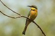 A Little-Bee Eater (Merops pusillus) perched on a forked branch