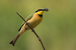 A Little-Bee Eater (Merops pusillus) perched on a stick with a b