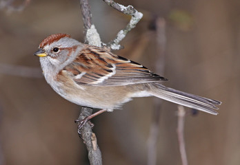 American Tree Sparrow on Branch