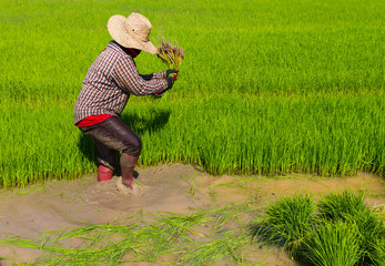 Withdrawal pulling rice seedlings strike hit in the leg