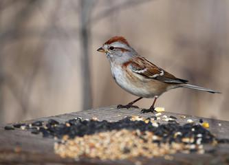 American Tree Sparrow on Bird Feeder