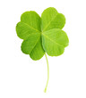 Green four-leaf clover leaf isolated - 65444800