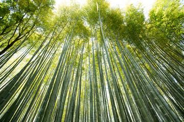 bamboo wall, high Bamboo wall forest in Arashiyama, Kyoto, Japan