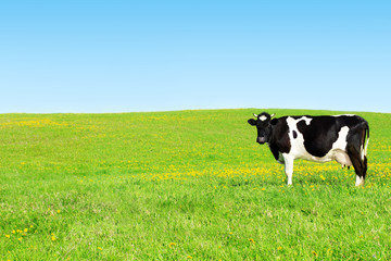 Cow on a green meadow.