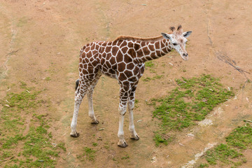 aerial view of giraffe calf