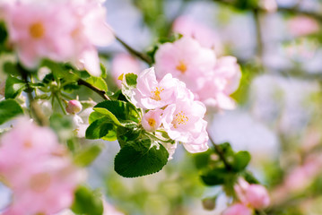 Blossoming apple tree with pink flowers