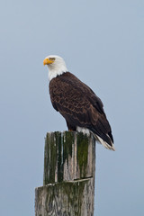 Bald Eagle on a post