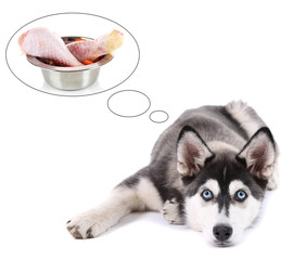 Cute husky puppy dreaming of meat, isolated on white