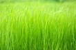 Beautiful green grass in field