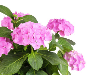 Bouquet of hydrangea close-up isolated on white
