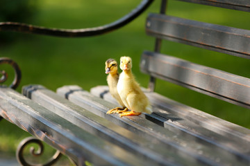 Little cute ducklings on bench in the park