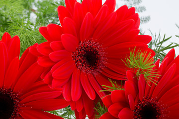 red gerbera daisy flower