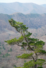 Top of pine 6
