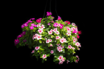 Beautiful petunia flower. Outside basket filled with vibrant pin