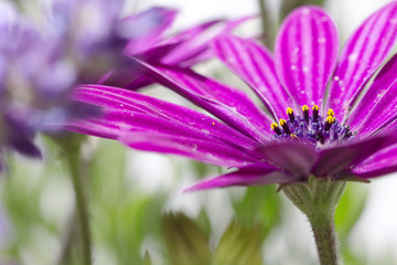 african daisy with lavender background in outdoor scene