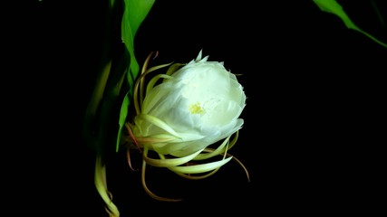 queen of the night blooming