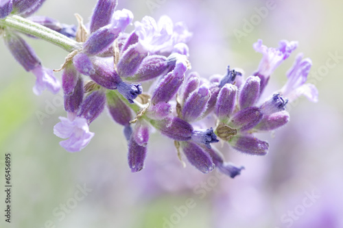 fresh lavender flower close up - 65456895