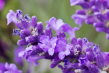 Fototapety fresh lavender flower close up