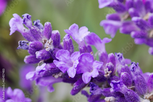 fresh lavender flower close up - 65457483