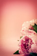 Pink background with beautiful peonies