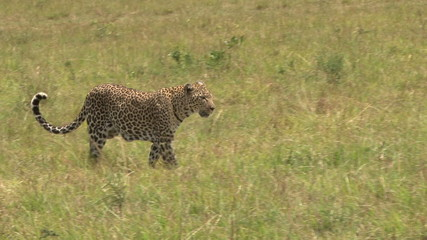 leopard walking in the plains