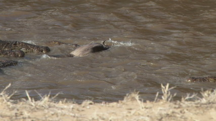 A baby wildebeest tries to free himself from a crocodile
