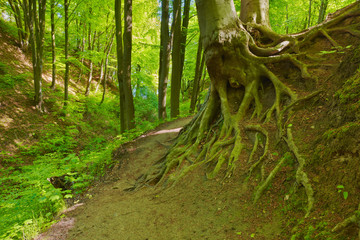 Way by green forest. Beech roots. Trees in nature reserve.
