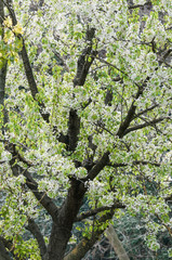Wild cherry (Prunus avium), Botanical Garden, Barcelona, Spain