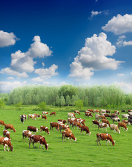 Cows on a green summer meadow